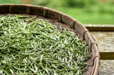 Specially selected early in the morning fresh white tea leaves spread curing in bamboo basket tray after harvest.Chinese silver needle white tea of premium quality. Tea orchard in the background.
